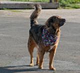 dog with bandana