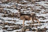 3327 Deer at porcupine.jpg