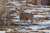 3328 Deer at porcupine.jpg