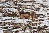 3329 Deer at porcupine.jpg