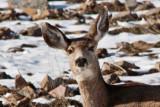 3329 Deer at porcupine cropped.jpg