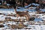 3330 Deer at porcupine.jpg
