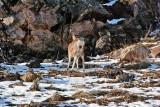 3331 Deer at porcupine.jpg