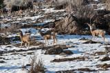 3336 Deer at porcupine.jpg