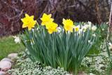 3396 daffodils.jpg