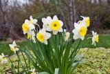 3398 Daffodils.jpg