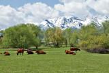 3476 Cattle.jpg
