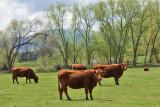 3477 Cattle.jpg