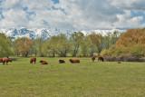3478 Cattle.jpg