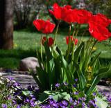 3500  tulips.jpg