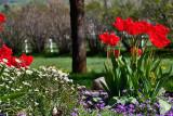 3501  tulips.jpg