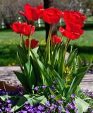 3503  tulips.jpg