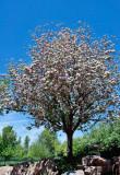 3555 Crabapple blossoms