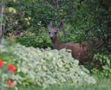 3721 deer.jpg