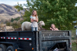 4030 Ruby and Daisy in trailer with lamb.jpg