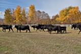 4071 Running of the bulls.jpg