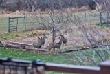 4136  Deer.jpg