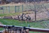 4138  Deer.jpg