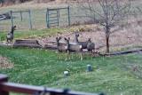 4139  Deer.jpg