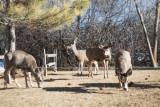 0217 Deer up close.jpg