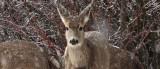 0236 Deer and snow.jpg