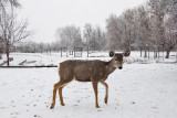 0242 Deer and snow