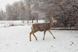 0243 Deer and snow