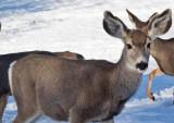 0258  Deer