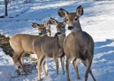 0262  Deer