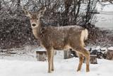 0230 Deer and snow.jpg