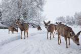 Snow Deer Gallery