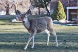 0526  Deer.jpg