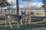 0529 Deer.jpg