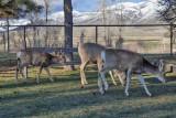 0530 Deer.jpg