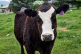 0896_Kids_and_cows.jpg