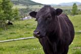 0898_Kids_and_cows.jpg