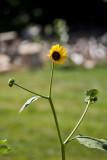4402_sun_flower.jpg