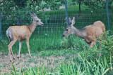 4456_deer.jpg