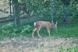 4458_deer_fawn.jpg