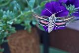 4464_Hummer_moth.jpg