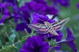 4465_Hummer_moth.jpg
