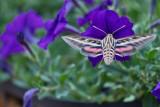 4468_Hummer_moth.jpg