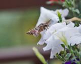 4471_Hummer_moth.jpg