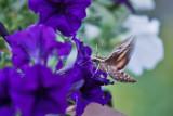 4469_Hummer_moth.jpg