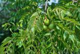 4476_Black_walnuts.jpg