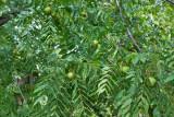 4477_Black_walnuts.jpg