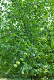 4478_Apples.jpg