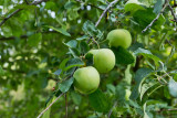4479_Apples.jpg