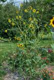 4480_sunflowers.jpg