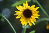 4487_sunflower.jpg